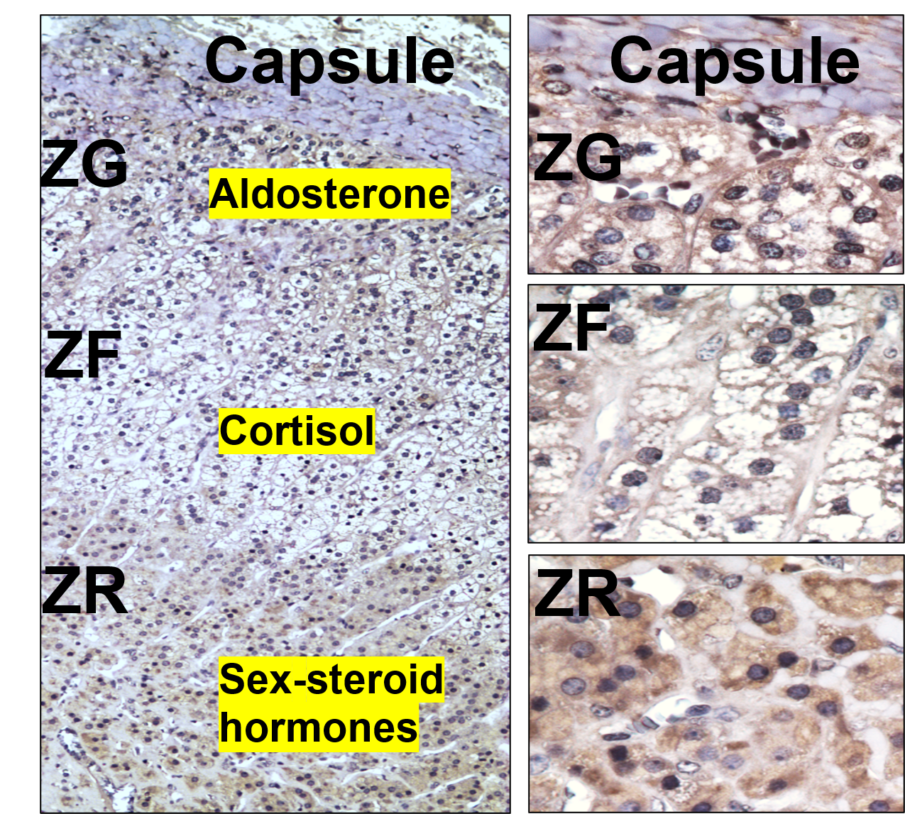 Microscopic view of the adrenal cortex: The layers of the adrenal gland cortex, zona glomerulosa (ZG), fasciculata (ZF), and reticularis (ZR), producing aldosterone, cortisol, and sex steroid hormones.