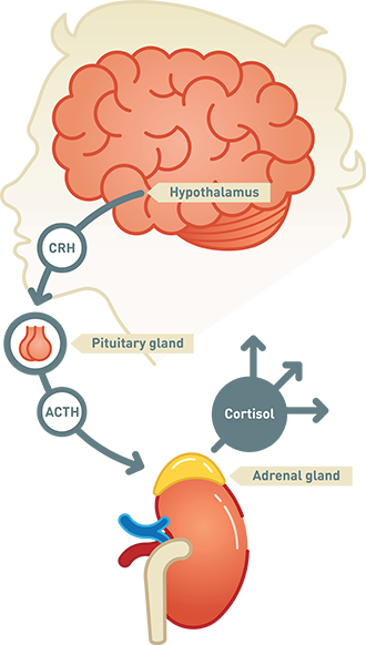 Cortisol production is controlled by another hormone called ACTH produces by the pituitary. When testing for Cushing's syndrome, it is important to measure both cortisol and ACTH levels.